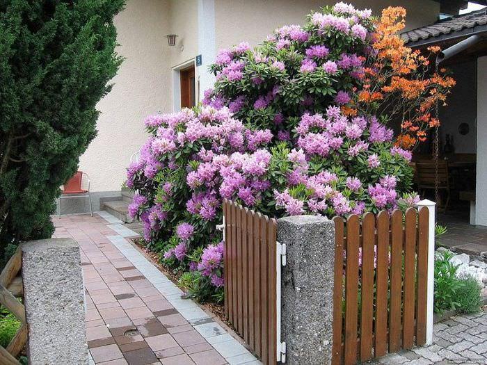 Цветение рододендронов в палисаднике загородного дома