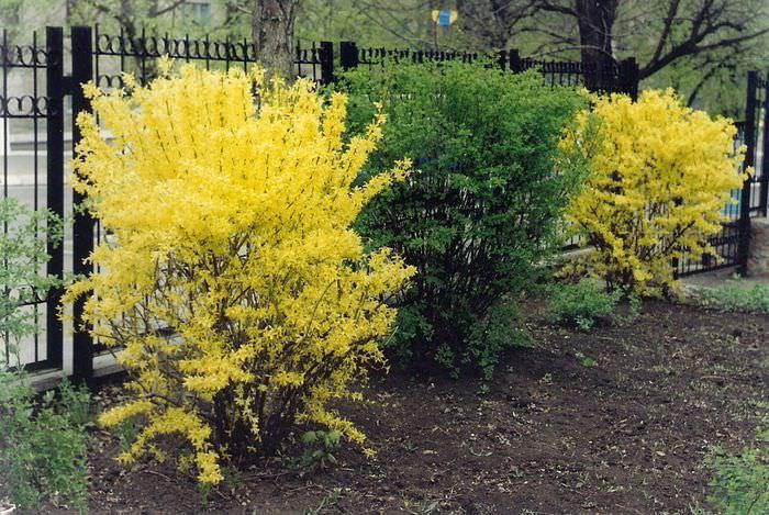 Желтые кусты форзиции около забора дачного участка