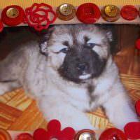 Породистый щенок кавказской овчарки