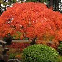 Большой куст японского клена с яркой кроной красно-оранжевого цвета