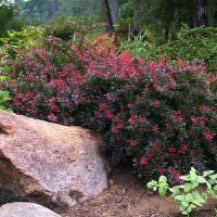 Низкорослый кустарник с багряными листьями