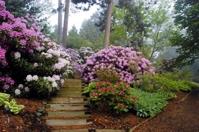 Цветущие рододендроны на склоне садового участка