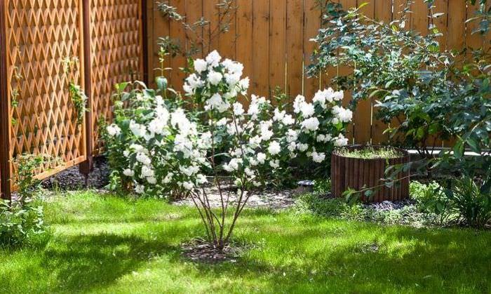 Молодой кустик садового жасмина рядом с деревянной изгородью
