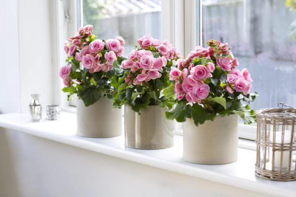 Каланхоэ- очень красивое растение. Правильно ухаживайте за ним, и оно отблагодарит вас частым цветением