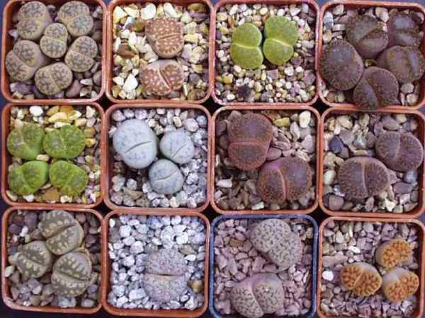 Литопсы относятся к суккулентам, внешний вид их таков, что иначе их называют «живой камень».