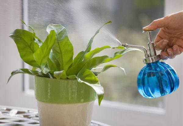 При поливе следует избегать прямого полива под корень, следует опрыскивать их, насыщая влагой не только стебель, но и листочки.