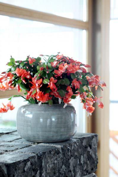 Бесподобно красивый цветок из семейства кактусов. В период цветения от него невозможно оторвать глаз